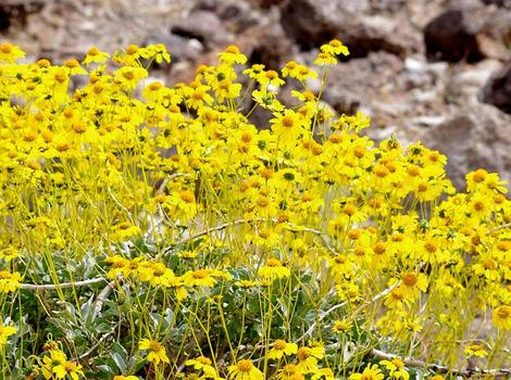 Encelia farinosa  Brittlebush, Goldenhills, Incienso in full flower. It will do this in most of Southern California with no irrigation.