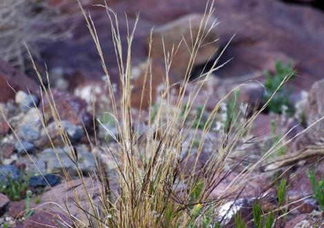 Aristida purpurea var. nealleyi (blue threeawn) in the wild eastb of Barstow - grid24_12