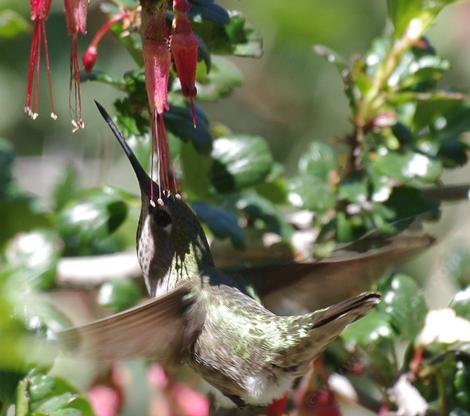Ribes speciosum Fuchsia-Flowering Gooseberry. with an Anna's hummingbird - grid24_12