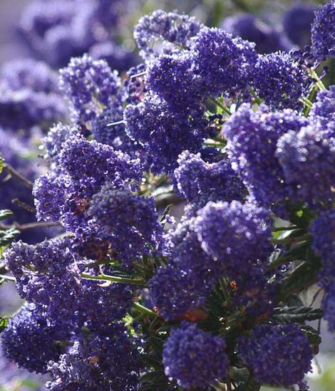 Ceanothus Concha has many colors, shades, and  tones. Some years the plants are more reddish purple, some years bright blue, some years larger flowers, some years more smaller flowers. Always beautiful. - grid24_12