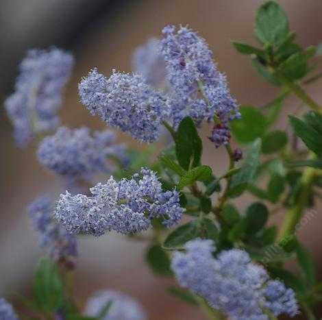 Ceanothus-sorediatus-klamath, this form comes from northern California - grid24_12