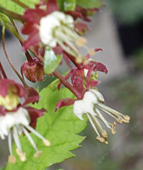 Acer circinatum, Vine Maple flowers.