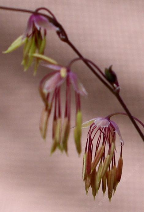 Meadow rue, Fendler's meadowrue, Fendler meadowrue flower