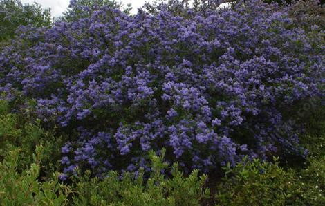 Ceanothus Frosty Blue as royal blue. - grid24_12