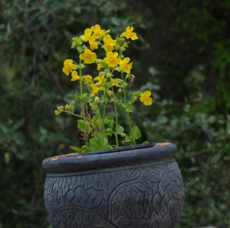 Seep Monkey flower works ok  in a pot - grid24_12