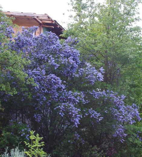 Ceanothus L. T. Blue covering the two story chicken coop - grid24_12