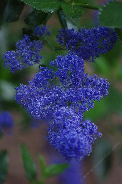 Ceanothus Sierra Blue flowers. The Ceanotus cyaneus color shows in this photo