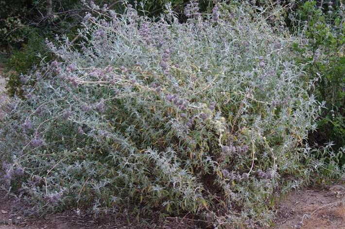 A couple of seasons after pruning  the Purple Sage is back in full shape.