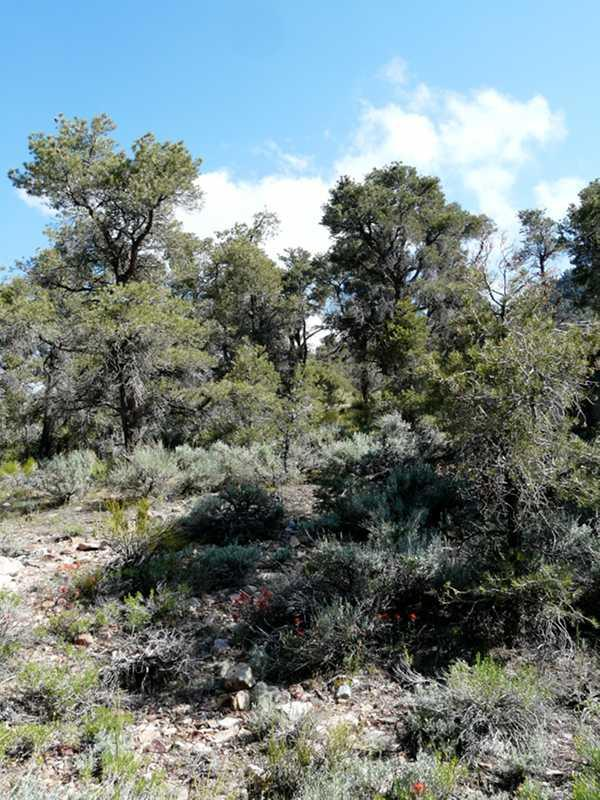 California is beautiful, the paintbrush plants add a little color to the Pinyon Juniper woodland.The green is a Ephedra, the gray is a Big basin Sage.