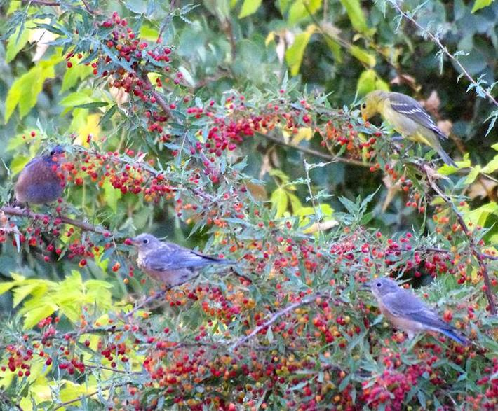 Three Western Bluebirds, and a female Western Tanager enjoying breakfast in a Mahonia nevinii. This Barberry is very slow, but the wildlife will show up as soon as the first flower or berry shows up in the garden.