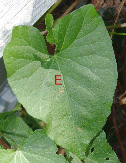 plant leaf e