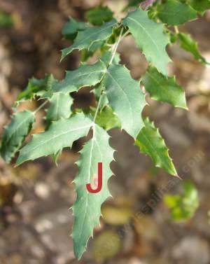 plant leaf j