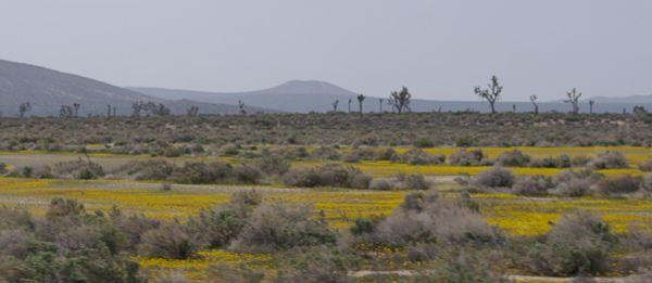 There are still a few wildflowers left around Mojave, but most have been replaced with weedy grasses.