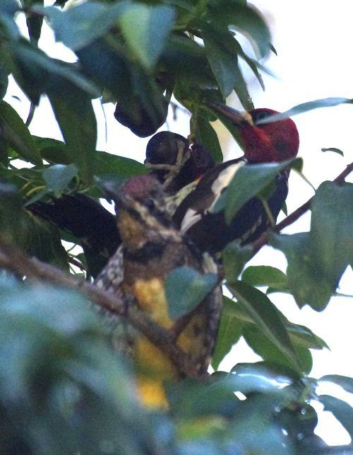 A juvenile   bugging  an adult Red breast Sapsucker(or Yellow Bellied, photo isn't great)  had other ideas. This was in early December.