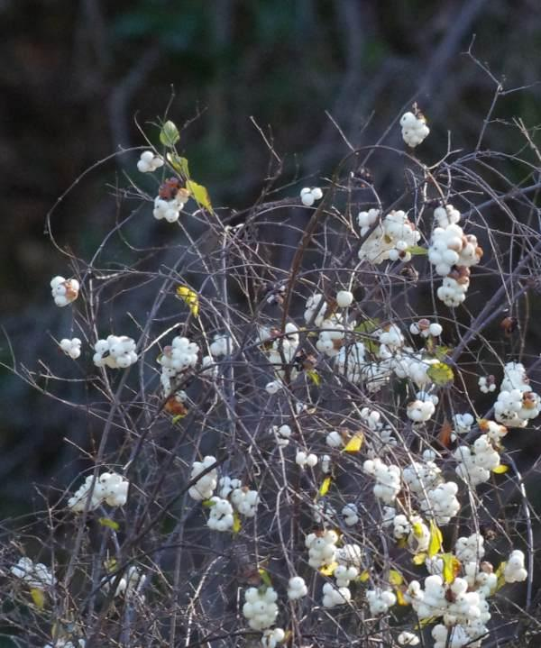 Snowberries in winter.