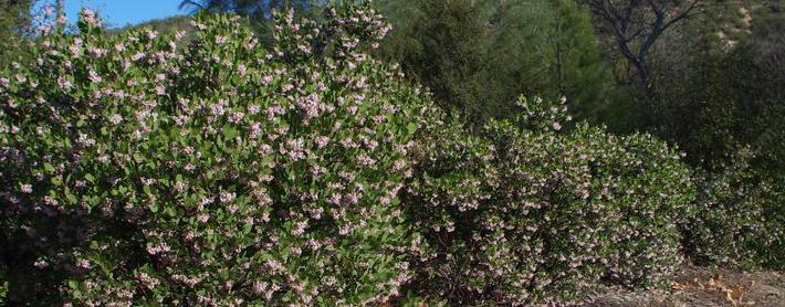 Manzanita Photos Descriptions And Plants Arctostaphylos