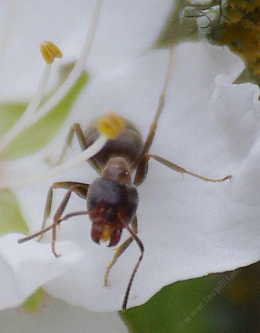 Liometopum occidentale - California Velvety Tree Ant