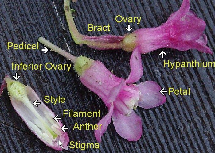 Here are most of the parts of a Ribes sanguineum glutinosum
