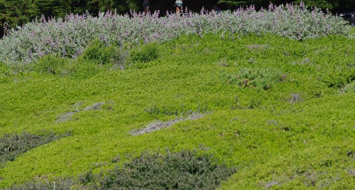 Ceanothus maritimus in foreground, Salvia Pt. Sal in background, and Baccharis Pigeon Point  in the rest of the picture. This ground cover has been in place for 30 years. It gets mowed to the ground about every 10 years and has had no water except at planting.