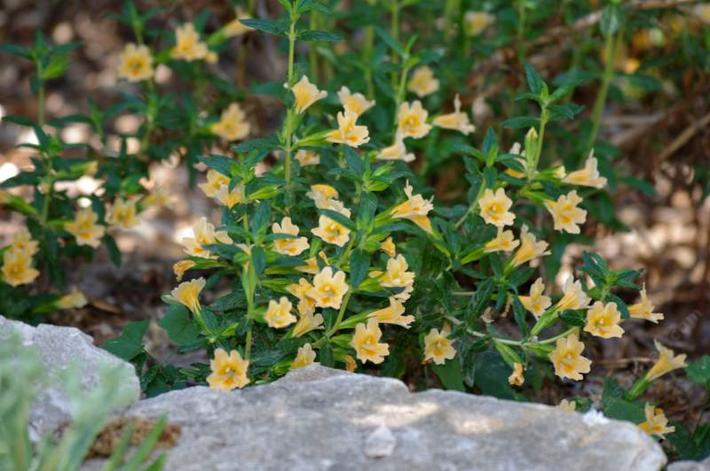 Lompoc Monkey flower is a nice looking plant. This one is about 15 years old.