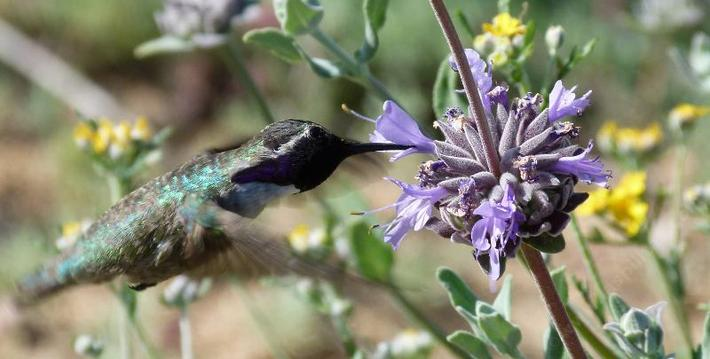 Costa's Hummingbird on Salvia Pozo Blue.
