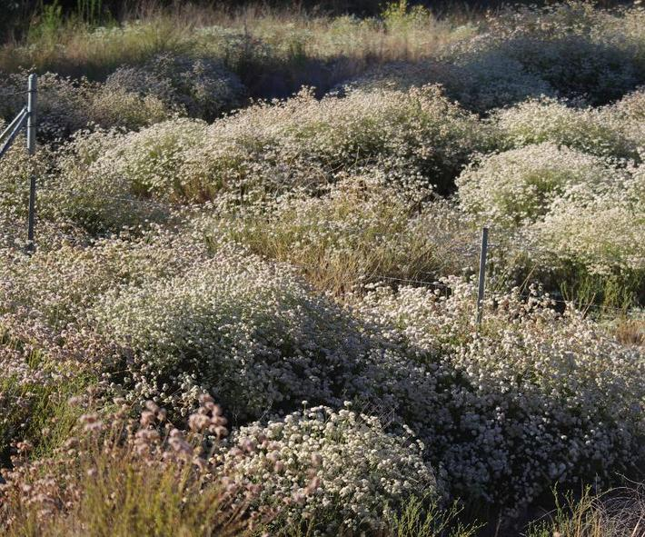 California Buckwheat as a ground  cover. No extra water. Native plants are beautiful.  What would a non-native plant look like with no water in midsummer?