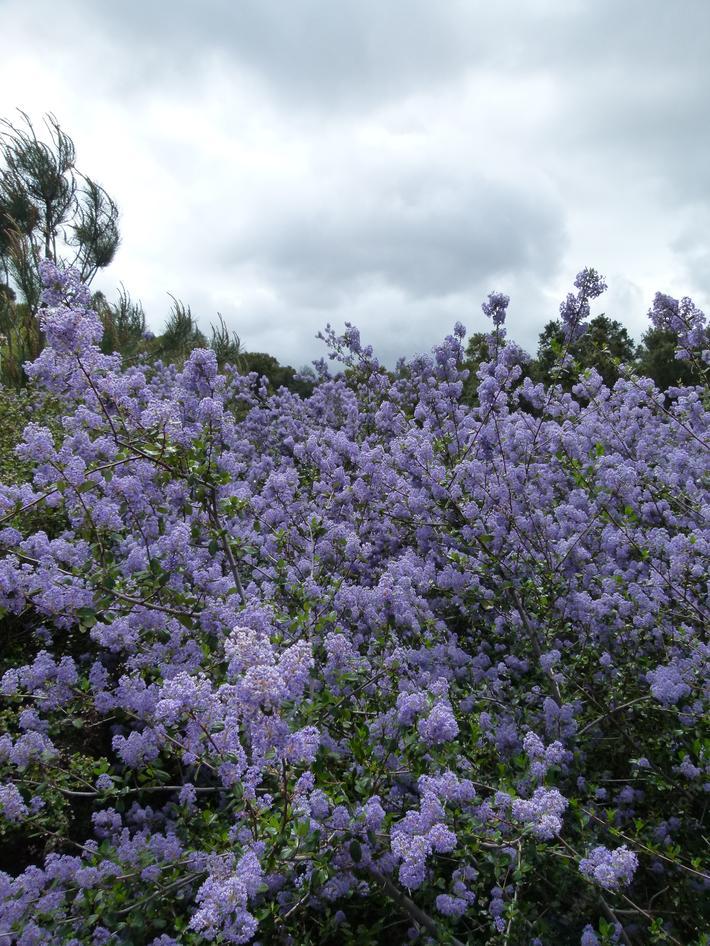 Ceanothus Oliganthus Blue Lilac Bush