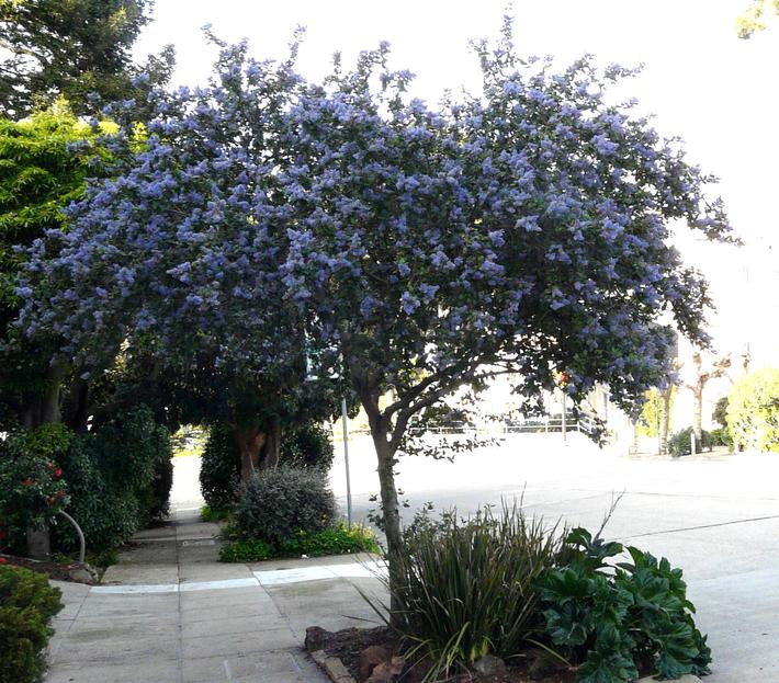 And Here Is A UK Nursery Selling Ceanothus As A Patio Tree