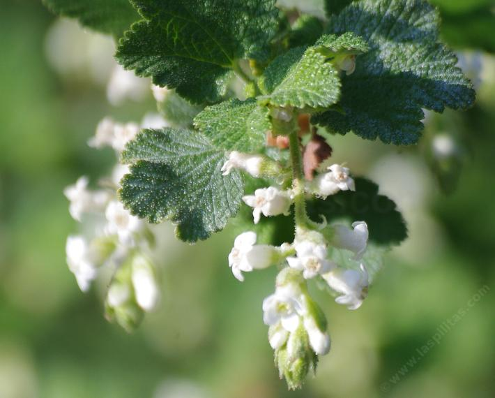 Ribes indecorum white flowering currant mightylinksfo