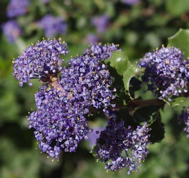The flowers of Ceanothus Hearts Desire
