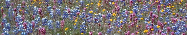 Pin cushion flower, Field Lupine, Owls Clover and Pop Corn are native California  wildflowers.