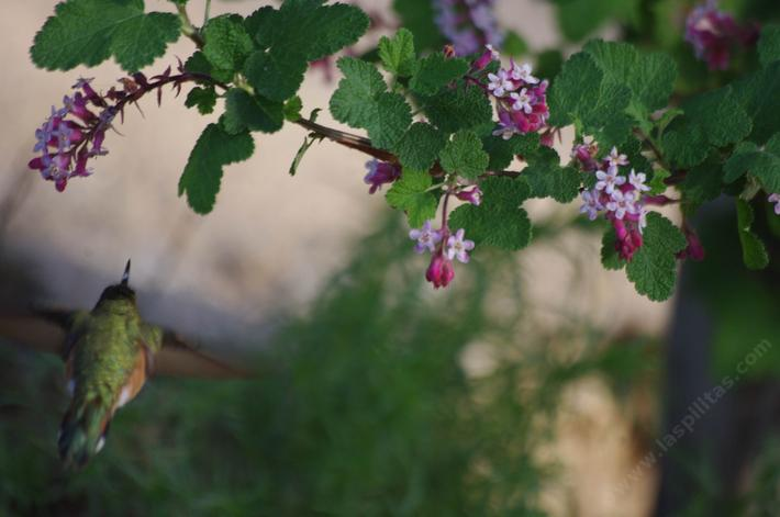 Is it a Rufous or Allen Hummingbird? Only the males know. The plant is Ribes malvaceum, Pink Chaparral Currant.