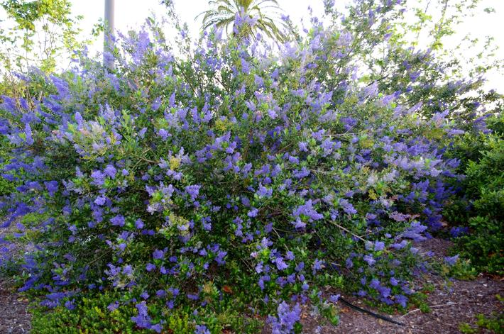 Ceanothus Ray Hartman in a mall parking lot, adobe soil, drip irrigation, still alive.