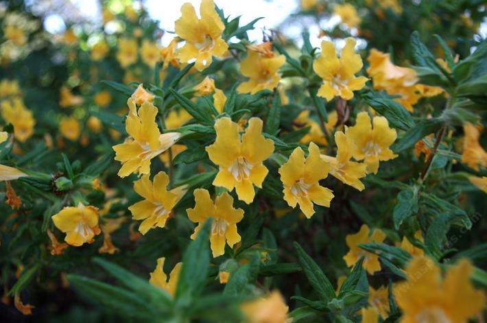 Monkey flowers for california gardens mightylinksfo