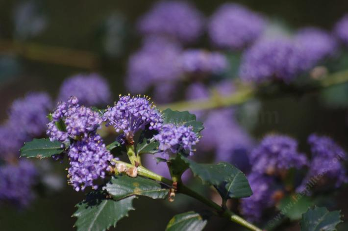 Ceanothus Mills Glory has beautiful purple flowers.