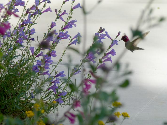 Anna's Hummingbird on Penstemon Margarita BOP in a Southern California wildflower garden