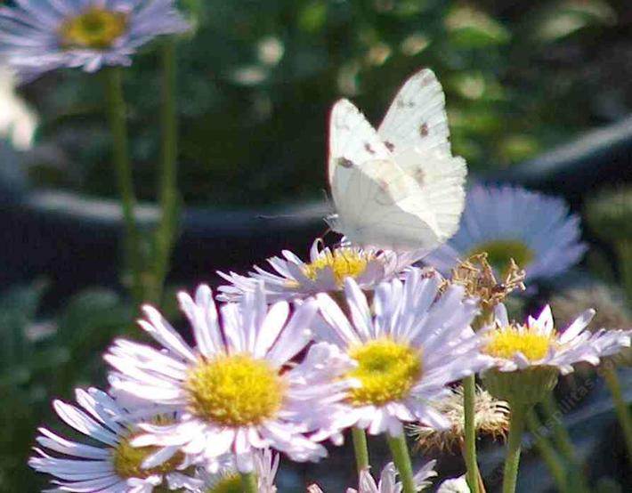 Leptiri Common_white_butterfly_on_sea_side_daisy