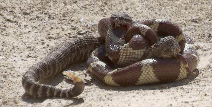 A Rattle Snake Biting a king snake that is killing it.