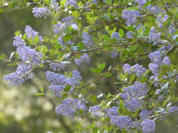 Ceanothus oliganthus makes many of the hillsides blue in spring from Banning to Poway. Drought tolerant to about 6 inches of rainfall, this photo was taken after two 8 inch rainfall years, with our summer heat.