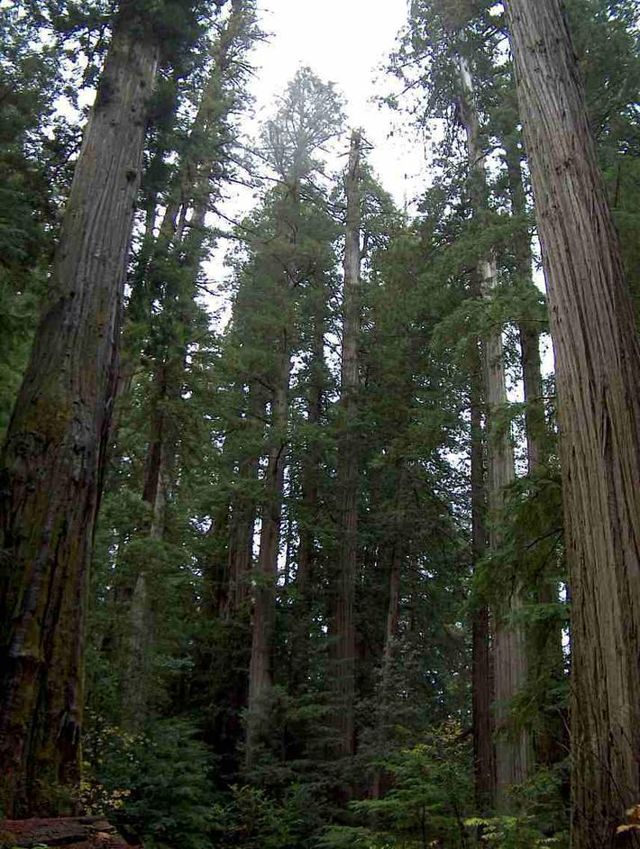 picture of a  California's Coastal Redwood forest dominated by Sequoia sempervirens