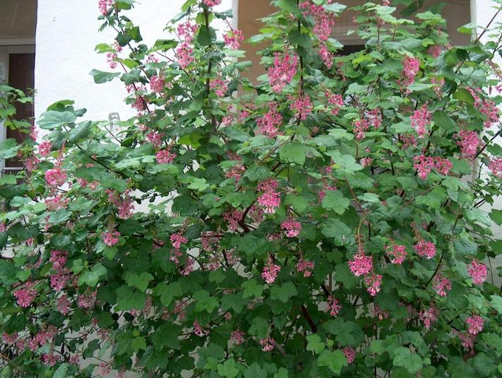 Ribes sanguineum var. glutinosum, Pink-Flowering Currant, is one of the showiest wild currants, with its pendulous clusters of reddish-pink flowers.