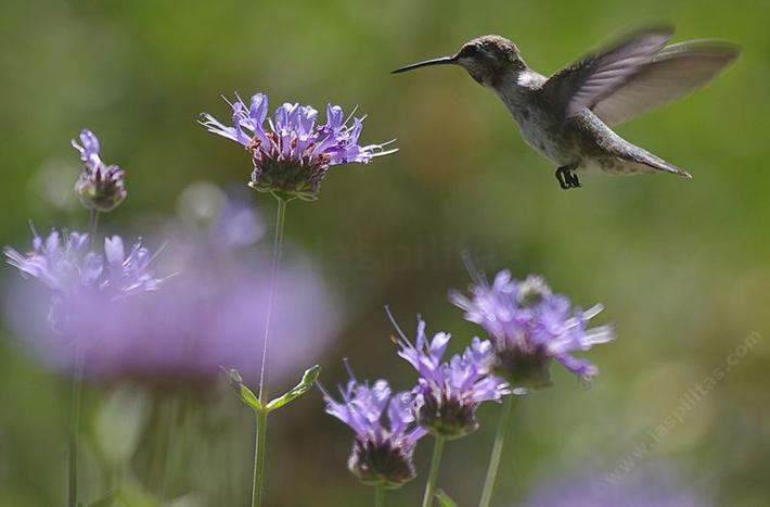 A young Anna Hummingbird on Salvia Alpine, Cleveland Sage. Cleveland Sage is drought resistant and can look good with 7-8 inches of rainfall. Your native garden needs very little water in a drought  to  look and smell good. Tolerant of much abuse.