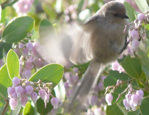 Bushtits are really cute eating the flowers of Arctostaphylos manzanita x densiflora, Austin Griffiths Manzanita