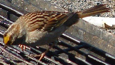 A golden crowned sparrow looking for leftovers on the grill showing crown.