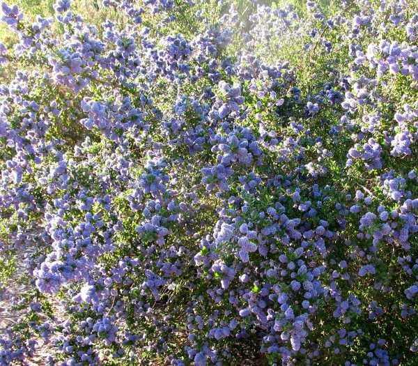 This California Lilac grows between Arroyo Grande and Santa Maria