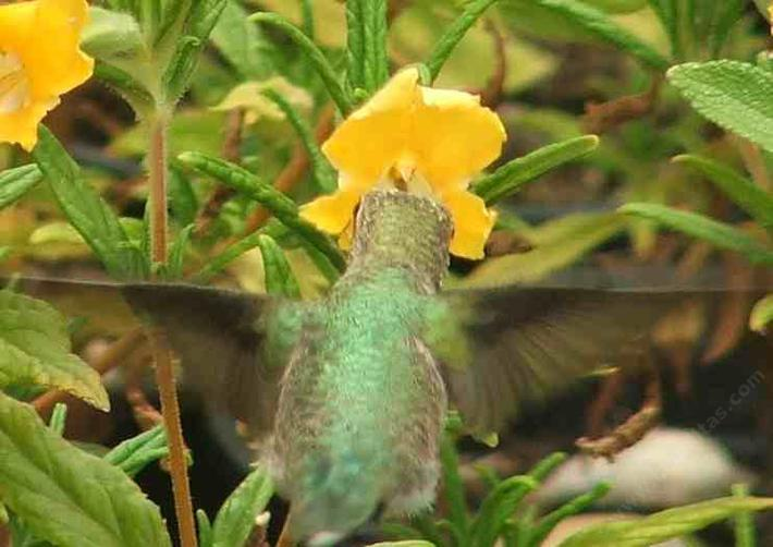 Yes Hummingbirds use yellow monkey flowers. This is an Anna Hummingbird on a Conejo Monkey Flower.