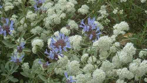 Buckwheat And Sages Used To Cover Your Hills With Flowers