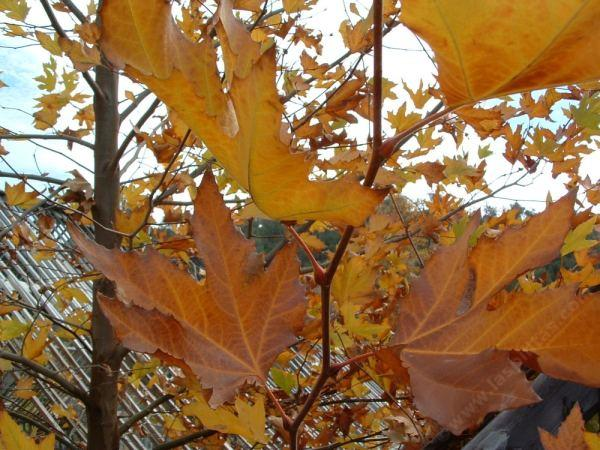 Fall And Winter Color In California Native Plant Garden