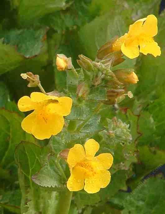 Erythranthe guttata yellow monkey flower mimulus guttatus laspilitas mightylinksfo