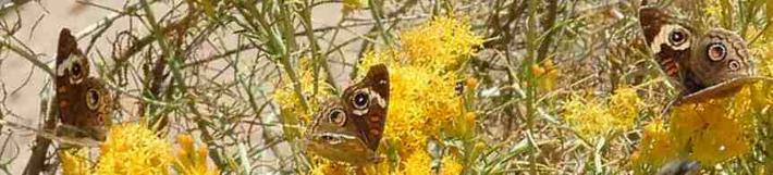 Buckeye Butterfly, Junonia coenia on Rabbit Brush